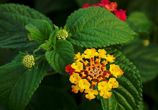 Red and Yellow Lantana Flower and Green Leaves by taiche