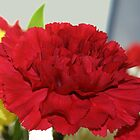 Dianthus caryophyllus‎ by Judy Clark