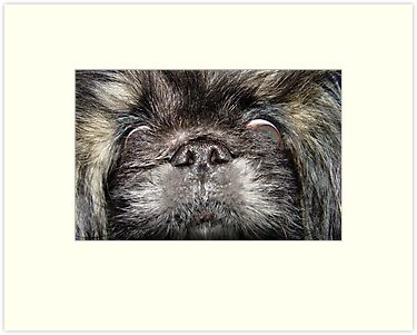 Pekingese by May Lattanzio