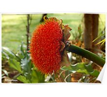 SCADOXUS puniceus – Blood Lily – Rooikwas Poster