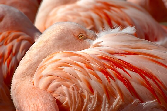 Chilean Flamingos (P. chilensis) by Eyal Nahmias