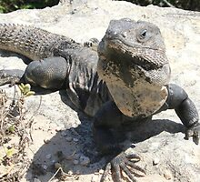 Iguana Up Close by Laurel Talabere