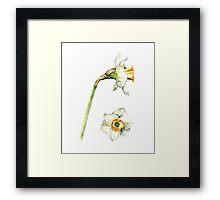 White & Yellow Daffodil Framed Print