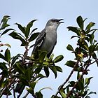 A good morning song from a Mocking bird..... by DonnaMoore
