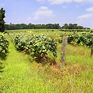 Lawton Vineyard in July by LeeMascarello
