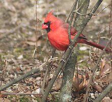 Northern Red Cardinal (Cardinalis cardinalis) in a Tree * by Laurel Talabere