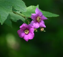 Wild Rose by Alyce Taylor