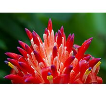 Bromeliad in Flower Photographic Print