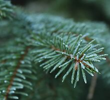Spruce with cold fingers. by SeasNatuPhotos