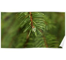 Water drop caught in spruce needles. Poster