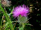 Wild Thistle by Tori Snow