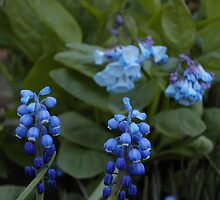 Grape Hyacinths by JDNarts
