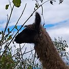 Llama animal by juan jose Gabaldon