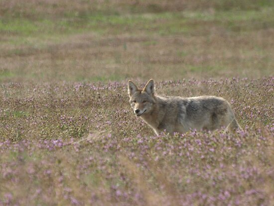 Coyote's Cunning Smile by Linda Mathews