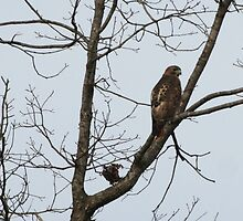 Red Tailed Hawk by Linda Mathews