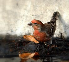 House Finch - Watering Hole by Ryan Houston