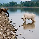 Cows, river Huallaga, Tarapoto, Peru by juan jose Gabaldon