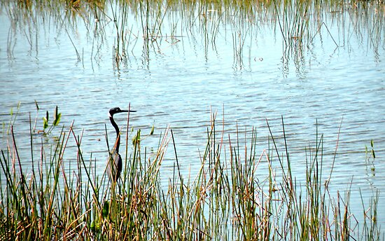Tricolored Heron in Marsh by Rosalie Scanlon