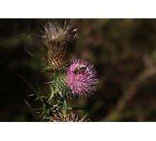 Thistle Bee It Photographic Print