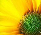 Yellow Gerbera by Dean Mullin