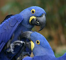 Hyacinth Macaws by Rhonda R Clements