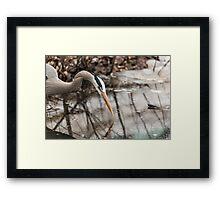 Great Blue Heron hunting Framed Print
