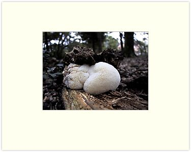 Bearded Tooth Fungi by May Lattanzio