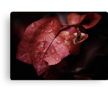 Bougainvillea after the rain Canvas Print