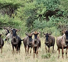 "SNORTING OF THE ""BLUE WILDEBEEST"" - MY WAKE UP CALL by Magaret Meintjes"
