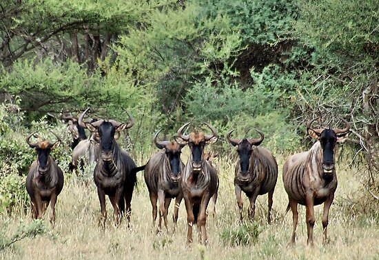 """SNORTING OF THE """"BLUE WILDEBEEST"""" - MY WAKE UP CALL by Magaret Meintjes"""