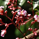 Flowers of the Star Fruit Tree by Bev Pascoe