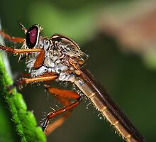 Giant Robber Fly by Aaron Murgatroyd
