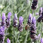 Bees and the love of lavender by DonnaMoore