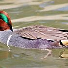 American Green Winged Teal by Cynthia48