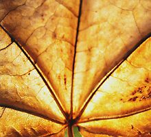 Maple leaf (brown leaf)... by sendao