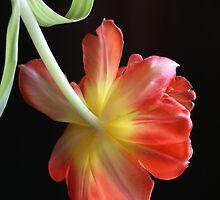 Topsy-Turvy Tulip by jujubean