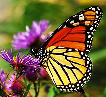 Monarch and Aster by Nancy Barrett