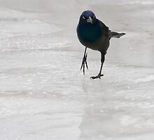 common grackle by jude walton