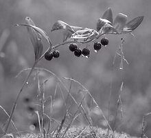 Lily of the valley berries by Paola Svensson