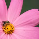 Bee on a Daisy by Bill Spengler