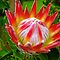 King Protea, South Africa by vadim19