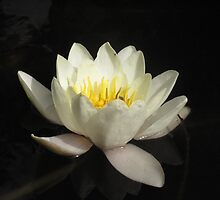 White Water Lily by skyhorse