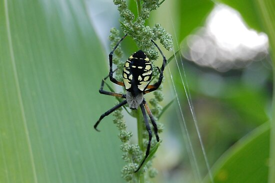 spider on my corn!! by storm22
