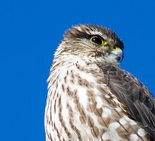 Hawk Eye by chazz