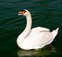 swan by juan jose Gabaldon