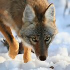 Coyote in snow by hard-rain