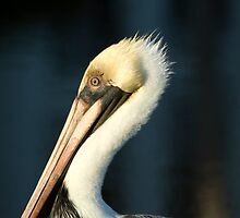 Pelican close up. by Glen Terranova
