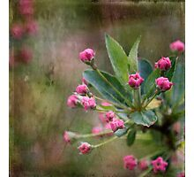 Crabapple Flower Buds Photographic Print