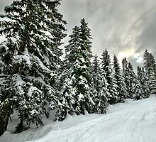 Winter Firs by David Jessop