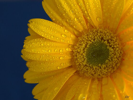 Daisy Dew by Kathy Weaver